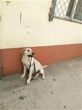 我的狗狗于5月20日晚八点半不小心在涞水高速引线休闲驿站附近走丢,麻烦如果有人捡到请联系我:1773