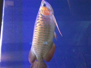 龙鱼热带观赏鱼