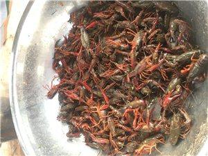 成品龙虾 放钓 及虾苗出售