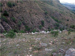 自己家養的一幫66只羊全部出售