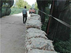 大量土豆上市 荷兰十五号