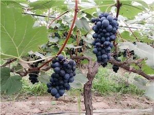 裴村店乡农场路口葡萄种植基地的葡萄可以采摘啦!!