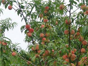 都来采摘吧!各种鲜桃!