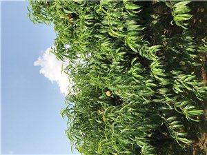 万亩绿色桃林