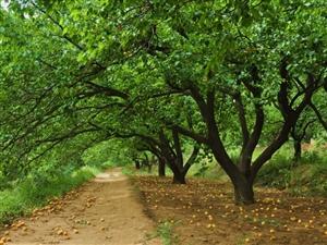 想吃杏的有意者联系我,微信358679859提前预定哦。