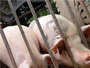 农村熟食家养猪
