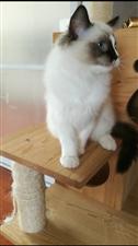 布偶猫一只三个月大??
