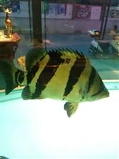 黑白皇冠�鱼热带观赏鱼虎鱼三纹四纹虎金鱼红龙银龙大型渔场养殖