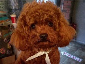 我家爱犬欢欢于2017年7月2日龙马潭区龙?#19979;?#36208;丢