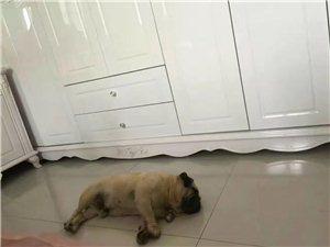 �大家,�臀肄D�l一下,本人有一�l巴哥犬,名叫豆豆,三�q了,由于8月30�,一清早五�c多�在�V�龈浇�菱