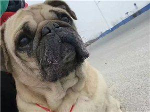 请大家,帮我转发一下,本人有一条巴哥犬,名叫豆豆,三岁了,由于8月30号,一清早五点多钟在广场附近菱