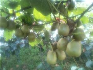 黑山猕猴桃熟了!!