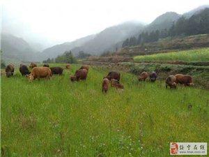 纯高山放养黄牛出售