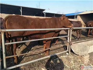 养殖肉牛什么品种好