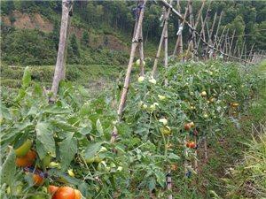 浦城县枫溪乡吴永康家庭农场大面积种植150亩的高山水果西红柿,使用古代传统农耕方式种植,人工拨草,全