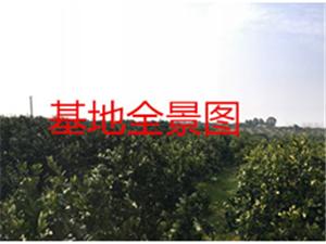 房产223.39㎡和澳门太阳城娱乐柑橘果树基地29亩售50万