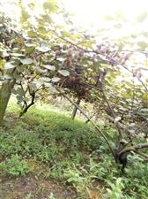 黑山猕猴桃熟了