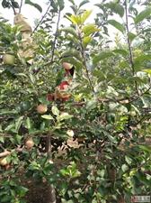 十月一到了带孩子感受一下乡村风景。丙华?#28903;?#22253;欢迎你!纯天然无公害无农药免洗水果!电话13001716