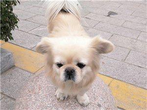 现金酬谢:一只白黄色小狮子狗与9月1日从亚博体育福利版下载滨水雅园北门银花路方向走失,查看监控已锁定范围,主人万分