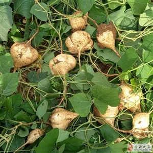沙土地萝卜,9块钱5斤,不甜不要钱