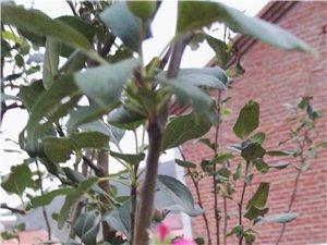 海棠花�壕旁麻_