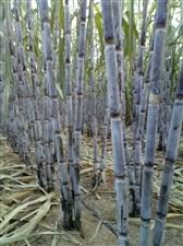 阳谷甘蔗种植