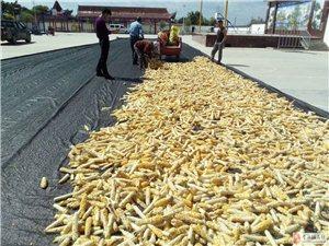 生产劣质玉米种子谁来管?
