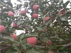 采摘的季节到了,红红的苹果挂满枝头。品种有红富士,乔那金,果光,黄元帅多个品种,口感好,香甜可口,都