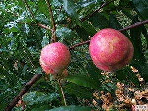 城口厚坪冬桃成熟了!