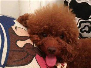 泰迪狗狗免费送
