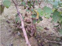 大量批發出售一年夏黑、A17葡萄苗,根系...