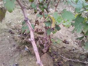 大量批�l出售一年夏黑、A17葡萄苗,根系...