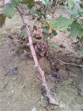 大量批发出售一年夏黑、A17葡萄苗,根系...