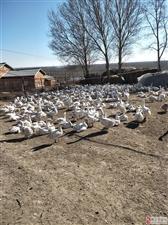 两千只大鹅出售