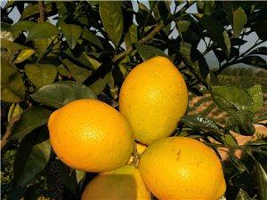 南迳镇三峡人家脐橙果园