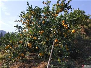 卖橙子:中和有脐橙靓果万5多斤,果皮漂亮,味道醇厚