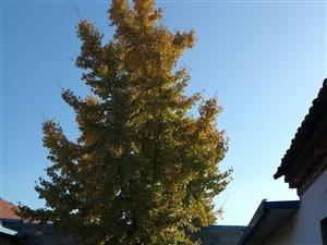 自己院内两棵银杏树太大了,出售(单位厘米...