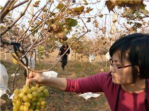 城郊乡大官寺村白果树葡萄采摘园,季节多变朴实夫妻求助网友转发