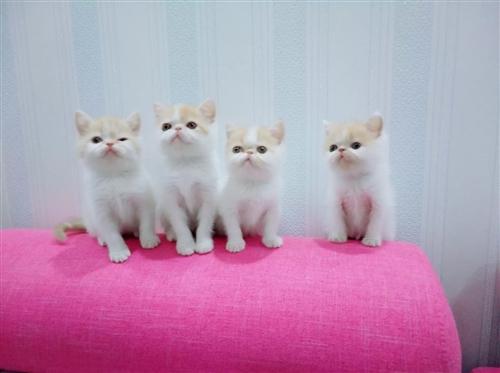 自家繁殖宠物级加菲猫宝宝,三公一母可见父...