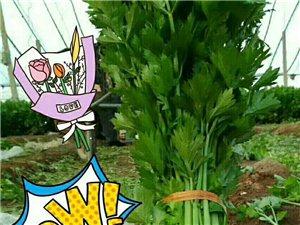 滑县老庙乡平上村蔬菜大棚新鲜的西芹,欢迎大家品尝,订购热线155151360651813728821