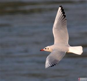 西伯利亚红嘴海鸥越冬合江石盘角