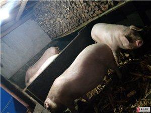 老人家自家养的粮食猪出售,见图