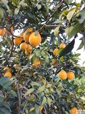 中和有4万多斤靓丽脐橙出售,有需要的老板请联系看果