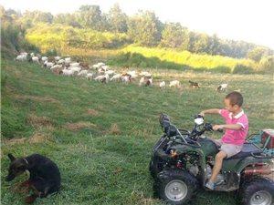 我只是个放羊的