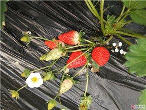 大自然草莓园