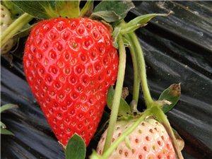 草莓采摘或购买