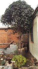 三把头粗的一棵桂花树,生长在自己家里院里...