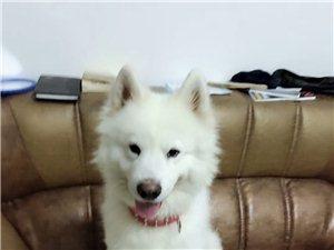 重金一万寻爱犬萨摩耶!