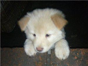 白色秋田犬,得了�小,今天���_始才第二天,很好治��。治���M差不多一千元左右,有能力治��的�酃啡耸款I走