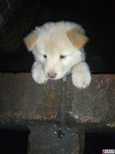 白色秋田犬,得了细小,今天刚开始才第二天,很好治疗。治疗费差不多一千元左右,有能力治疗的爱狗人士领走